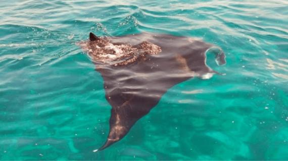 Menyelam Bersama Pari Manta di Manta Point Labuan Bajo